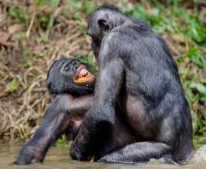 Bonobo in amore
